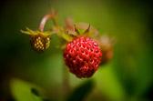 """""""... hele væla er bærre jordbær, finn et strå og træ dom på ..."""" Alf Prøysen"""
