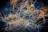 Ubesvart kjærlighet er som blomster dekket av rimfrost. Lope de Vega